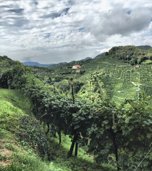 Prosecco Vineyard in Farra di Soligo