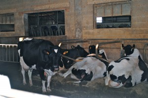 Cows waiting to be milked.