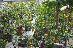Lemon Trees in Limone